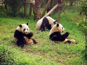 800px-Chengdu-pandas-d10
