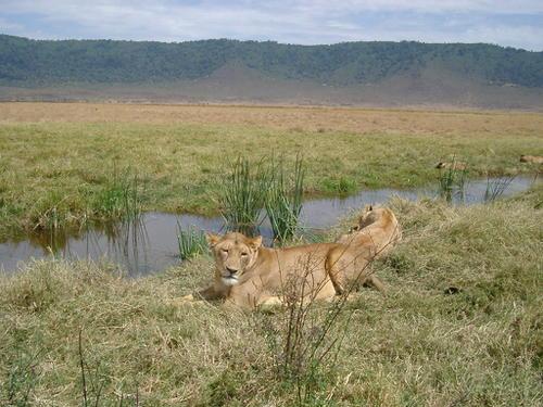 Lions (Panthera leo) dans le cratère de Ngorongoro